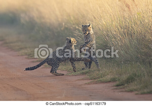 Two Cheetah cubs playing early morning in a road - csp51163179