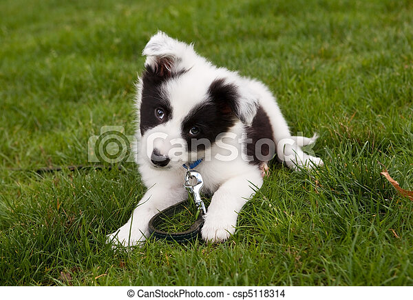 Border collie doggy - csp5118314