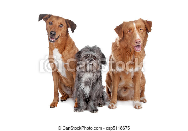 Two mix dogs and a Nova Scotia Duck Tolling Retriever - csp5118675