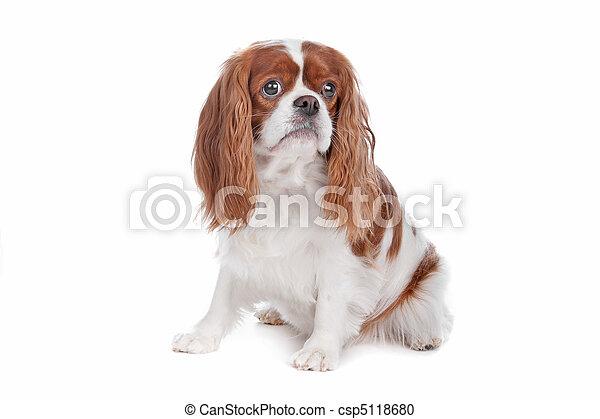 Cavalier King Charles Spaniel dog - csp5118680