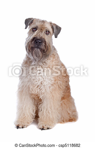 Soft Coated Wheaten Terrier - csp5118682
