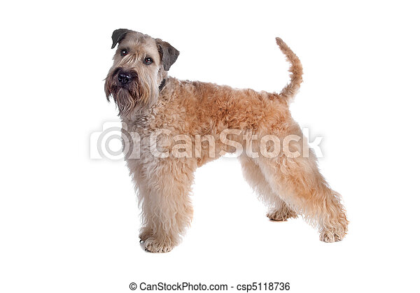 Soft coated terrier dog - csp5118736