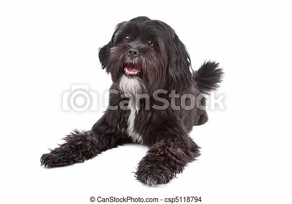 mix Tibetan Terrier, Shih Tzu - csp5118794