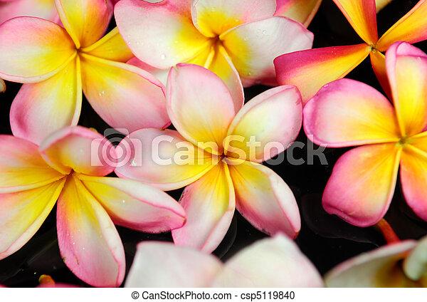 frangipani or plumeria tropical flower   - csp5119840