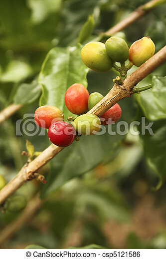Red colombian coffee bean. - csp5121586