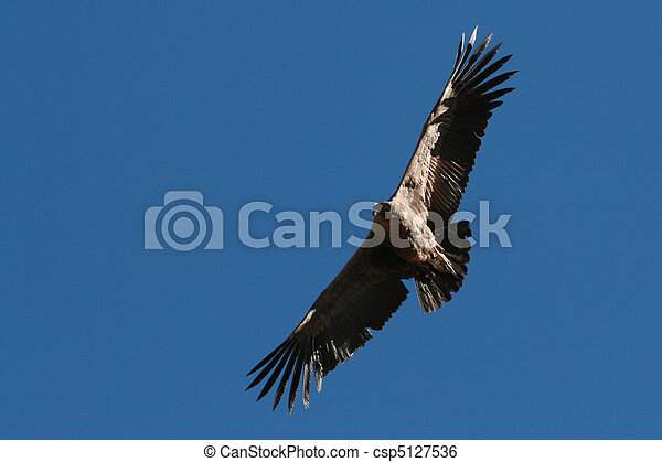condor, desfiladeiro, voando, através - csp5127536