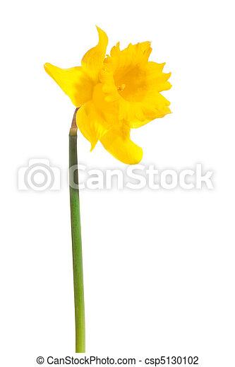 yellow daffodil - csp5130102