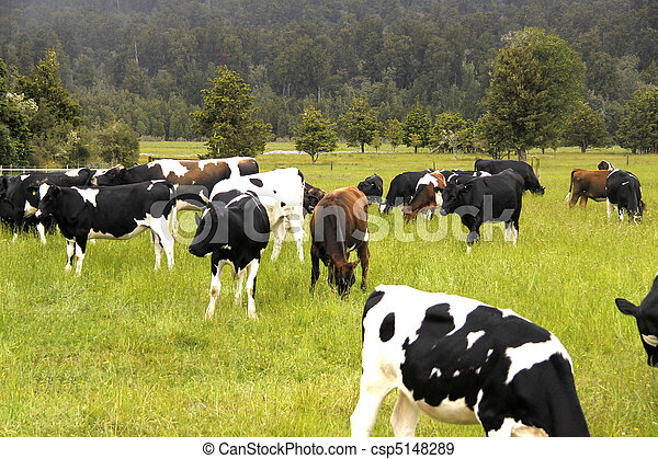 dairy cattle cows grazing - csp5148289