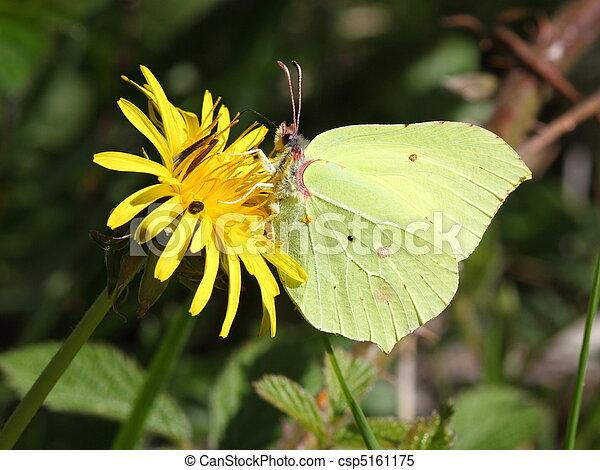 brimstone butterfly - csp5161175
