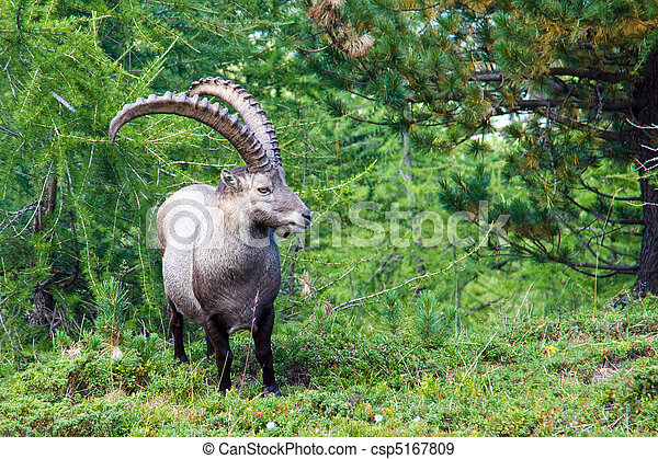 Alpine ibex in the swiss alps - csp5167809
