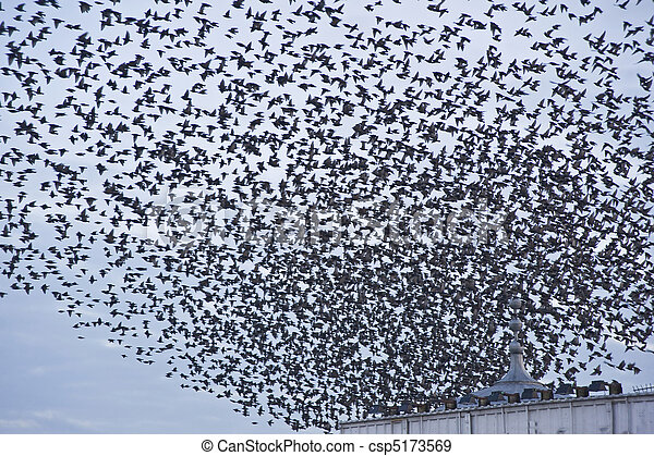 The natural phenomenon which occurs annually in UK of starlings migrating in very tight formation - csp5173569