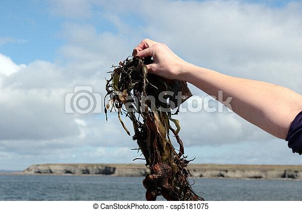 seaweed held in hand - csp5181075