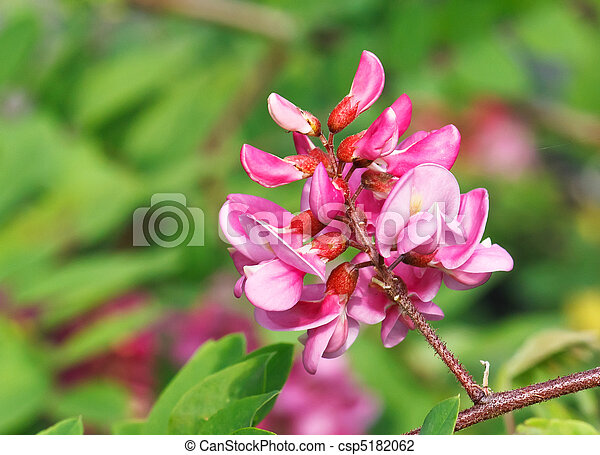 Flowers of rosy acacia in spring - csp5182062
