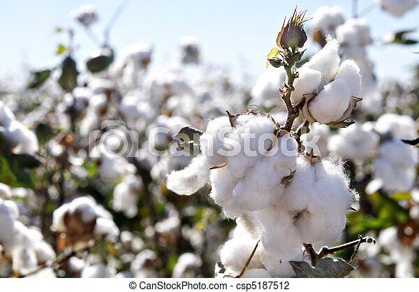 Photo de coton bolls sur branche gros plan de m re - Branche de coton ...