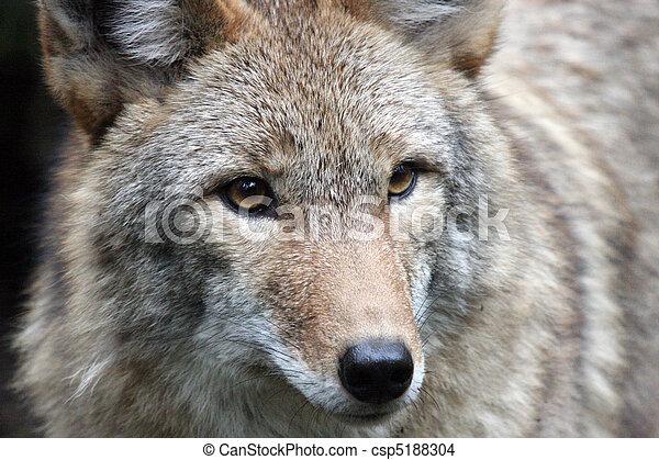 wa, Treck, foto, Tierwelt,  Park, Kojote, Nordwesten, genommen - csp5188304