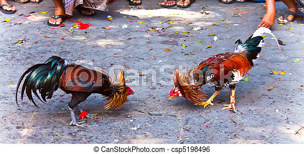 Rooster fight - csp5198496