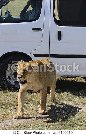 Lioness- brief encounter - csp5199219