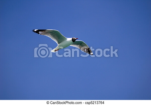 Single seabird flying in the blue sky - csp5213764