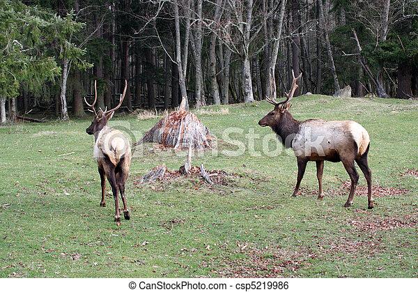 Elk.  Photo taken at Northwest Trek Wildlife Park, WA. - csp5219986