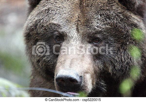 Grizzly Bear.  Photo taken at Northwest Trek Wildlife Park, WA. - csp5220015