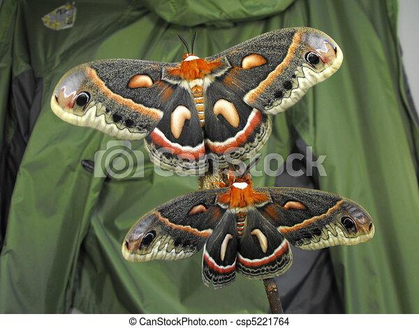 Cecropia Moth Pair - csp5221764