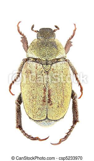 Hoplia argentea female - csp5233970