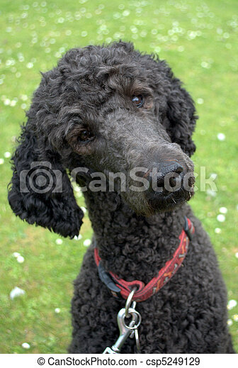 Poodle turning head and listening - csp5249129