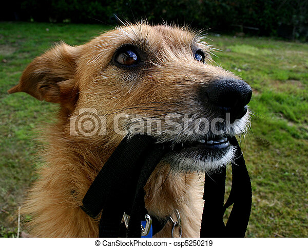 Dog waiting with her lead - csp5250219