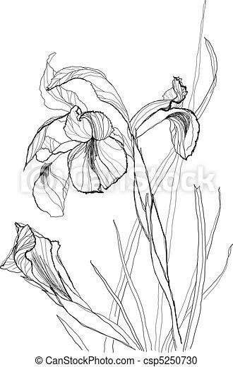 drawing irises 2 - csp5250730