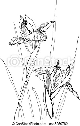 drawing irises - csp5250782