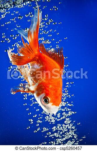 Image de poisson rouge sombre bleu eau csp5260457 for Tarif poisson rouge