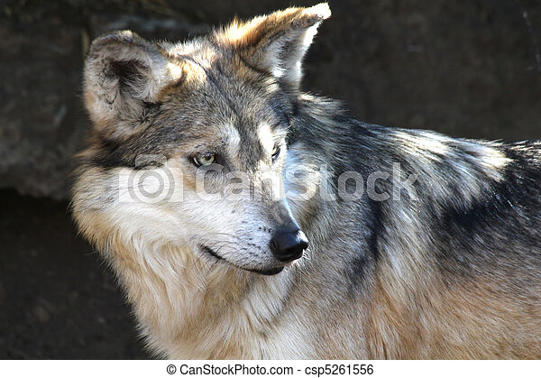 Mexican Gray Wolf - csp5261556