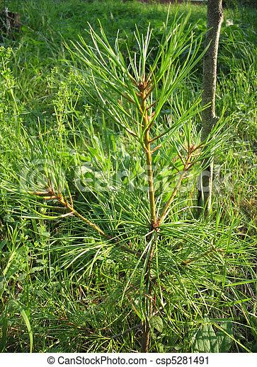 Seedling Pinus sibirica - csp5281491