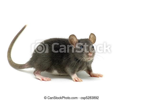 ネズミ - csp5283892