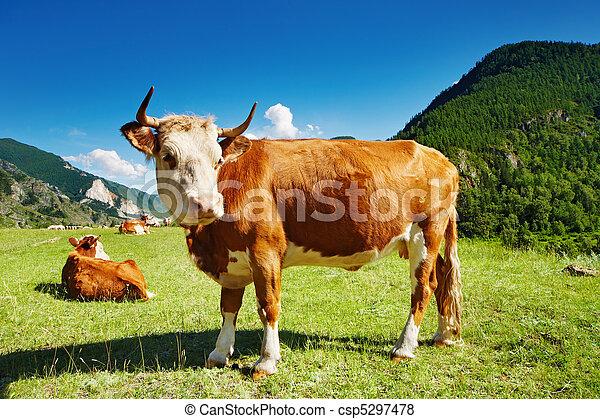 吃草, 母牛 - csp5297478