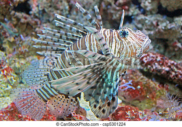 Stock photo of striped tiger fish fish with tiger for Tiger striped fish