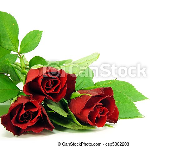 red roses on white background - csp5302203