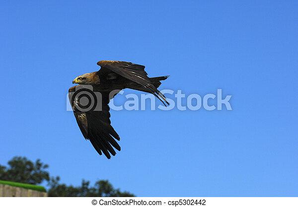 Flying Golden Eagle (Aquila chrysaetos) - csp5302442