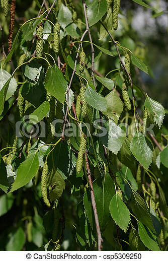 Photographies de darg vert feuille de bouleau moscou - Feuille de bouleau photo ...