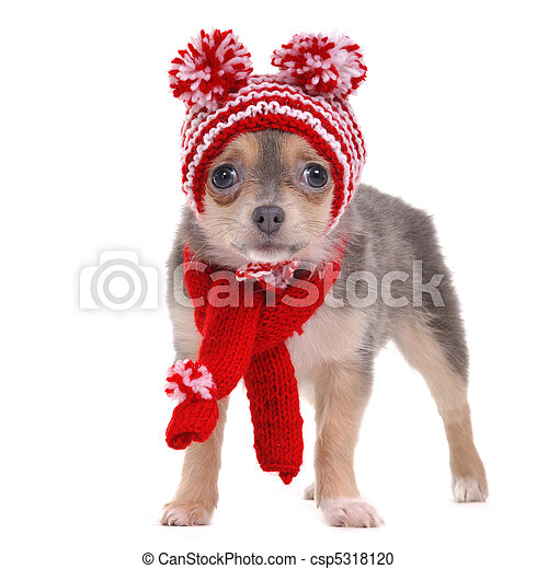 Chihuahua puppy dressed in red and white striped funny hat and scarf - csp5318120