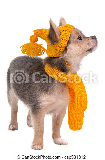 Chihuahua puppy with yellow funny hat and scarf isolated on white background - csp5318121