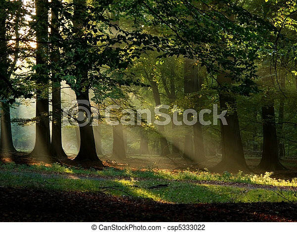 beech forest with fog and warm sunshine in autumn, fall - csp5333022