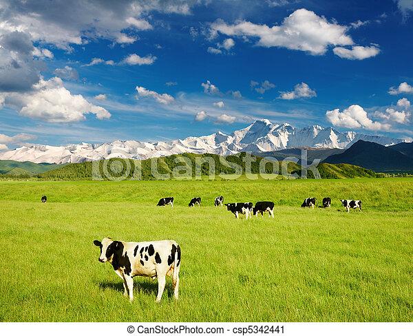 Grazing calves - csp5342441
