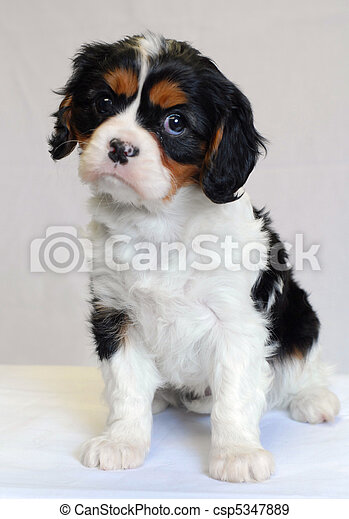 tri color cavalier king charles puppy - champion lines - csp5347889