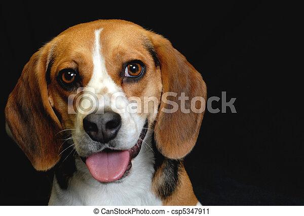 Photographies de beagle m le noir adulte fond adulte - Beagle adulte ...