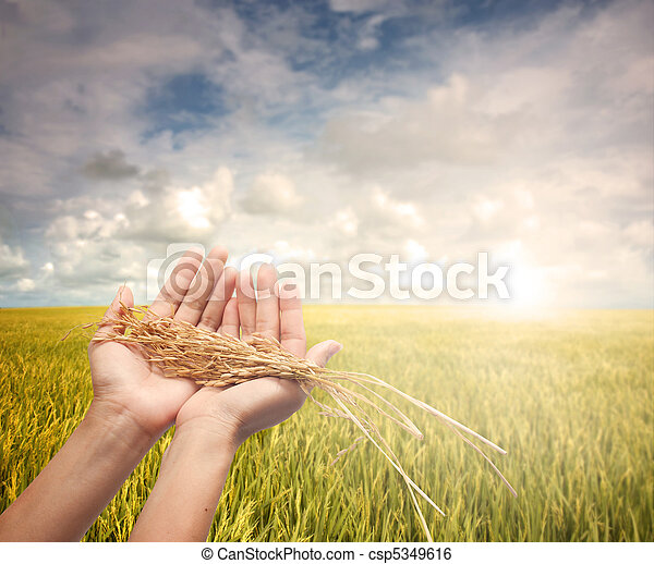 hand holding harvested paddy - csp5349616