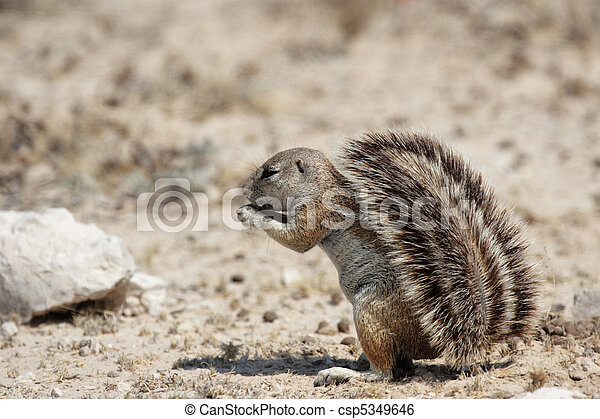 Stock Image of Southern African Ground Squirrel (Xerus ...