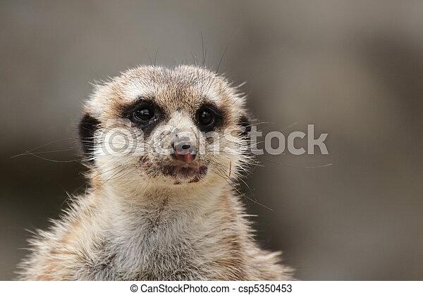 Meerkat (Suricatta suricatta) - csp5350453
