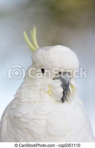 Sulphur-crested Cockatoo (Cacatua galerita) - csp5351110