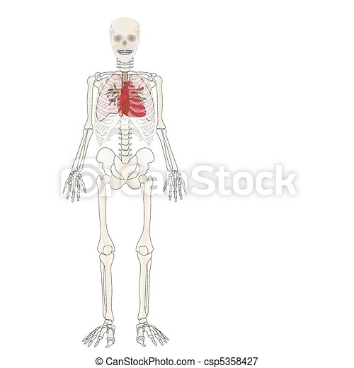 Vector the Skeleton of the person with an internal - csp5358427